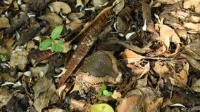 O sapo soprou grande para ameaça o inimigo na terra na floresta filme
