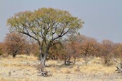O savana no parque nacional de Etosha em Namíbia Imagem de Stock