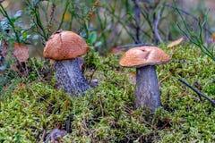 o scaber Vermelho-tampado desengaça o aurantiacum comestível do Leccinum do cogumelo foto de stock royalty free
