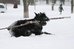 O schnauzer gigante corre o galope com um aport na neve imagens de stock royalty free