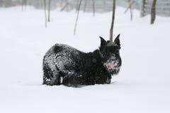 O Schnauzer gigante está na neve profunda no inverno Montante de gerencio no quadro foto de stock royalty free