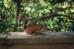 O Sciurus do esquilo vermelho vulgar imagem de stock royalty free