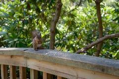 O Sciurus do esquilo vermelho vulgar imagens de stock royalty free