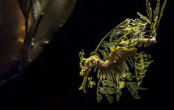 O seadragon frondoso, eques de Phycodurus foto de stock royalty free