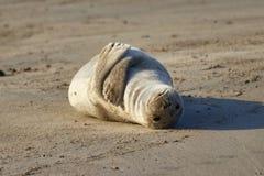 O selo encontra-se na areia perto do mar fotografia de stock