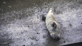 o selo está colocando no gelo filme