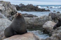 O selo grande senta-se na rocha, costa de Wainuiomata, Nova Zelândia Imagens de Stock Royalty Free