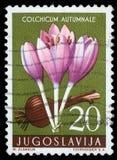 O selo impresso em Jugoslávia mostra o açafrão de outono Imagem de Stock Royalty Free