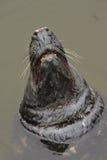 O selo masculino que mostra os dentes enormes, Lituânia Fotografia de Stock