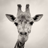 O sepia do vintage tonificou a imagem de uma cabeça dos Giraffes fotos de stock royalty free