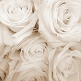 O Sepia tonificou as rosas brancas Imagem de Stock Royalty Free