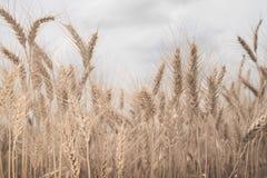 O Sepia tonificou o campo de trigo fotografia de stock royalty free