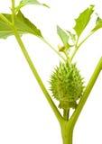 O ser humano gosta do vagem da semente do thornapple imagem de stock