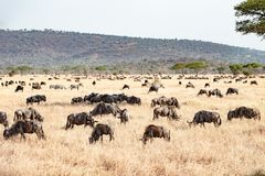O Serengeti com hundrets de pastar gnu Imagens de Stock