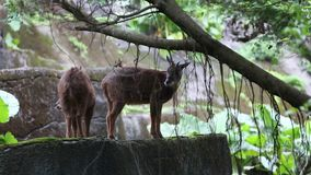 O serow de Taiwan que come no swinhoei do Capricornis da floresta filme