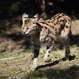 O serval fotos de stock