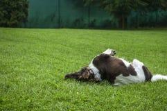 O setter do cão está jogando em uma grama Imagens de Stock Royalty Free