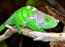 O'Shaughnessy Chameleon Royalty Free Stock Photography