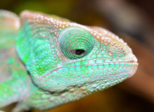 O'Shaughnessy Chameleon Royalty Free Stock Photos