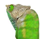 O'Shaughnessy Chameleon Stock Photos