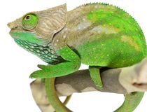 O'Shaughnessy Chameleon Royalty Free Stock Images