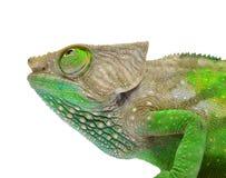 O'Shaughnessy Chameleon Stock Image