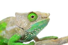 O'Shaughnessy Chameleon Stock Photography