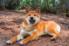 O shiba-inu novo do cão está encontrando-se para baixo descansando na terra fotografia de stock royalty free