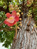 O Shorea robusta, Dipterocarpaceae, flor vermelha de Sala que floresce, árvores duras indianas é importante para o budismo fotografia de stock