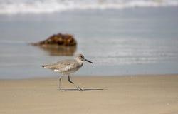 O Shorebird anda ao longo da praia de Hermosa, Califórnia Fotografia de Stock
