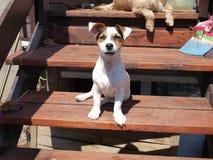 O shorthair do terrier de Jack russell está sentando-se nas escadas de madeira na frente da casa Imagens de Stock Royalty Free