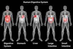 O sistema digestivo humano Imagens de Stock