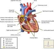 O sistema elétrico do coração. Imagens de Stock Royalty Free