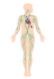 O sistema linfático Fotografia de Stock Royalty Free