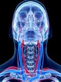 O sistema vascular humano Imagens de Stock Royalty Free