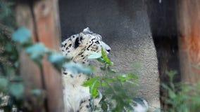 O Snow Leopard está escondendo video estoque
