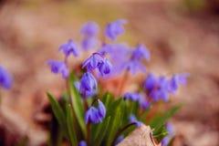 O snowdrop azul floresce na mola adiantada na floresta imagem de stock royalty free