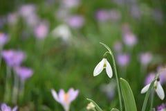 O snowdrop bonito do tempo de mola em branco e em verde com um fundo borrado de um campo do açafrão roxo cor-de-rosa floresce Fotografia de Stock Royalty Free