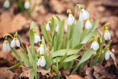 o snowdrop fresco da mola floresce as mulheres felizes da floresta dia no cartão do convite do 8 de março tiro macro do foco sele Foto de Stock