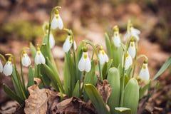 o snowdrop fresco da mola floresce as mulheres felizes da floresta dia no cartão do convite do 8 de março tiro macro do foco sele Fotografia de Stock Royalty Free