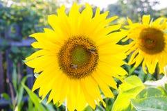 O sol bonito dos girassóis colore flores verdes da natureza Fotos de Stock Royalty Free