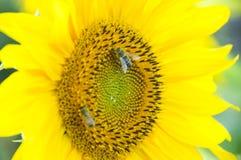 O sol bonito dos girassóis colore flores verdes da natureza Imagens de Stock Royalty Free