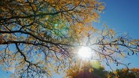 O sol brilha através das folhas de outono da árvore video estoque