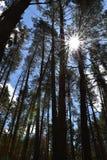 O sol brilha através de uma floresta do pinho contra um céu azul imagens de stock