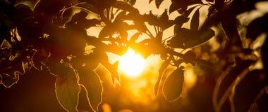O sol brilhante da noite é cercado pelas folhas da maçã Por do sol - panorama Imagem de Stock