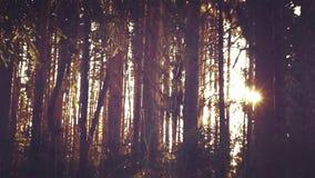 O sol da floresta do pinho do fundo brilha com do nivelamento das árvores filme