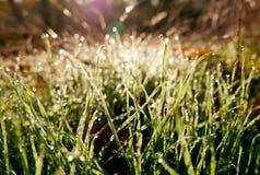 O sol da manhã faz o orvalho na grama brilhar como diamantes imagens de stock royalty free