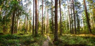 O sol de ajuste brilha através da floresta do pinho Fotografia de Stock Royalty Free