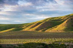 O sol de ajuste ilumina um vinhedo e uns montes gramíneos verdes em matiz douradas fotografia de stock royalty free