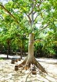 O sol, despesas gerais altas, brilha para baixo em testes padrões de uma sombra da carcaça da sumaumeira na terra em México fotos de stock royalty free